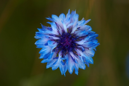 http://commons.wikimedia.org/wiki/File:Centaurea_cyanus_MichaD_light_blue.jpg